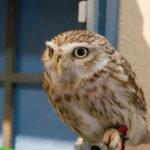 フクロウの種類は日本にどれくらいある?一覧でまとめてみた