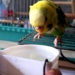 セキセイインコの雛は水を飲む?適正な量や位置について【まとめ】