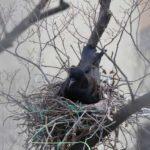カラスが巣を作る時期!作らせない&撤去の許可を得る方法まとめ
