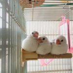 文鳥の雛の育て方!成長は一人餌や温度管理で決まる?