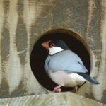 文鳥の卵が孵化しそう!対処法&産んだ後のアフターケア!