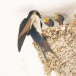 ツバメの巣を壊すと違反になるの?鳥獣保護法の罰則について解説!