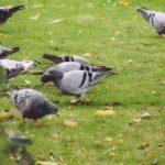鳩の鳴き声の種類はどれくらい?気持ちによって異なる鳴き方を解説!