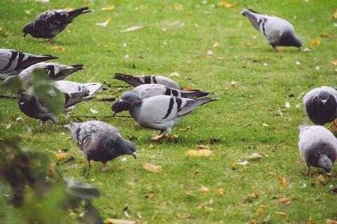 鳩の鳴き声の種類はどれくらい?気持ちによって異なる鳴き方 ...