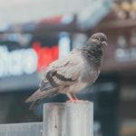 鳩の子供の餌は何を与える?おすすめな物とNGな食べ物について紹介